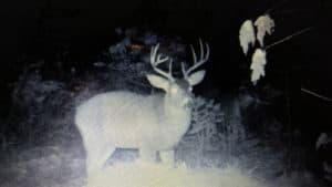Large Buck