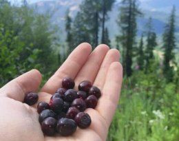 huckleberry picking in mountains