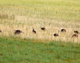 wild turkeys in a field